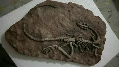 Rare Carnivore Dinosaur Sinosauropteryx Fossil Cretaceous 140 million years Old