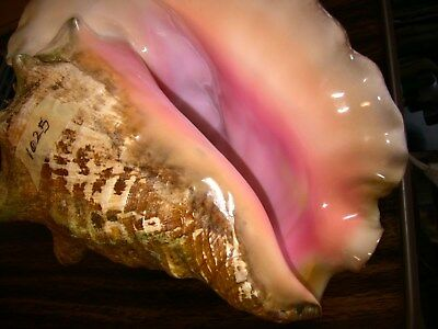 Large Pink Queen Conch Shell, from diver's seashells collection, nautical decor