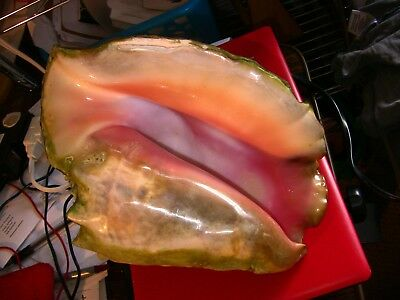 Large Pink Queen Conch Shell, used as plant pot then restored