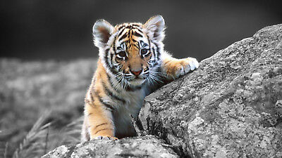 1p Auction Tiger's Cub HD Wallpaper Image Penny Collection Free No Reserve
