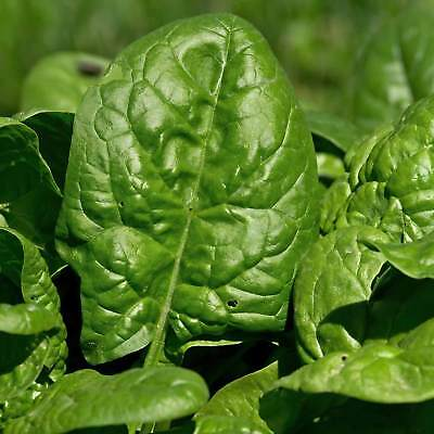 Giant Nobel Spinach Seeds - Heirloom, Gardening - Slow Bolt Garden - Microgreens