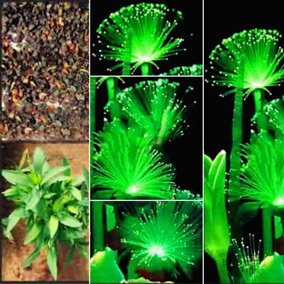100pc Emerald Fluorescent Flower Seed Pearl Plant Aquarium Grass Seed Ornamental