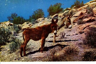 Vintage Postcard California Sweethearsts of the Desert two shaggy burros donkey