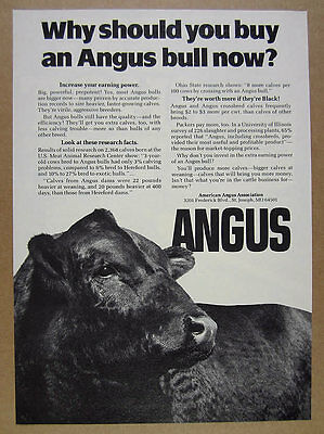 1980 Angus Cattle Association black bull photo vintage print Ad
