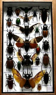 26 Real Mounted Insect Boxed Rare Insects Display Taxidermy Entomology Zoology