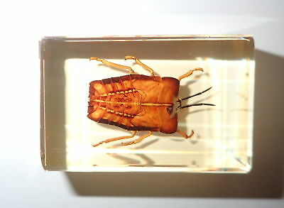 GHOST BUG in Amber Clear small Paperweight Education Insect Specimen