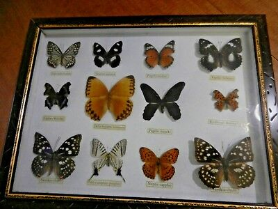 12 real framed butterflies mounted in display case/shadow box
