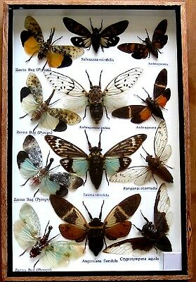 Real Bug Mounted Beetle Boxed Rare Insect Display Taxidermy Entomology