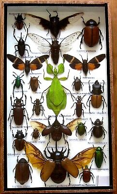 24 Real Bug Mounted Beetle Boxed Rare Insect Display Taxidermy Entomology