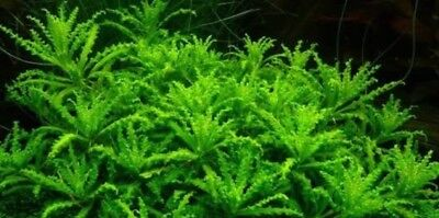 Pogostemon Helferi - Tissue Culture - Live Aquarium Plant - Nano And Shrimp