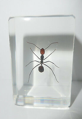 Red Head Bow Ant Camponotus singularis in clear paperweight Education Specimen
