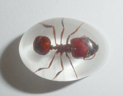 Insect Cabochon Big-head Ant Specimen Oval 12x18 mm white bottom 1 piece Lot
