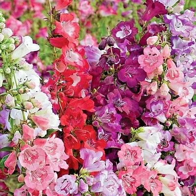 100+PENSTEMON HARTWEGII SENSATION MIX Flower Seeds Drought Tolerant Poor Soil