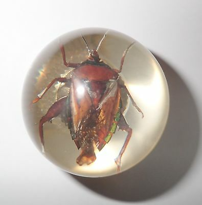 Brownish Bug Specimen 60 mm Sphere Ball Vechicle Shift Knob Clear
