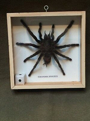 Very Large Taxidermy Tarantula Eurypeima Spinicrus Bird Eating In Frame