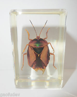 Brownish Bug Eurostus validus in clear Block Education Insect Specimen