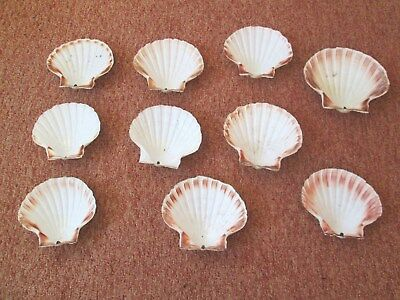 10 LARGE SCALLOP SEA SHELLS - Bowl 14cms - 16cms across