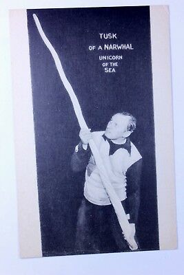 Ripley's Believe it or Not - Postcard - Narwhal Tusk - Unicorn of the Sea - 1939