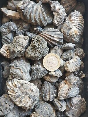 UK Mixed Fossils, Ammonite, Hamite Ammonite and Bivalvia.