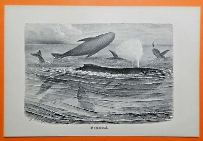 Buckelwal (Megaptera novaeangliae) Wal   Whale  Herde original Holzstich 1891