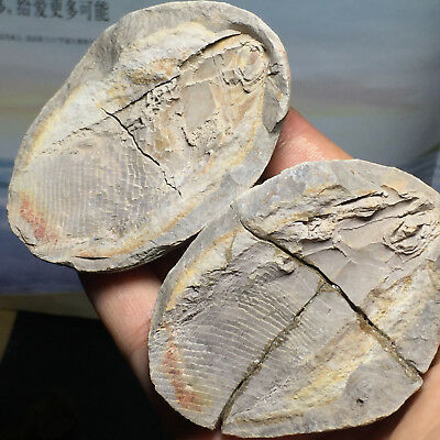 Both sides of the fish well-preserved Million Year Old fish fossils 78mm A8178