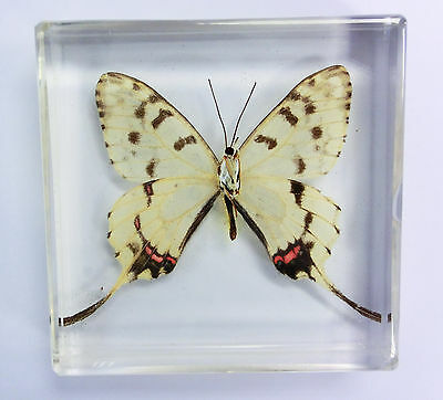 Ribbon Butterfly Sericinus montelus Clear in Block Education Insect Specimen