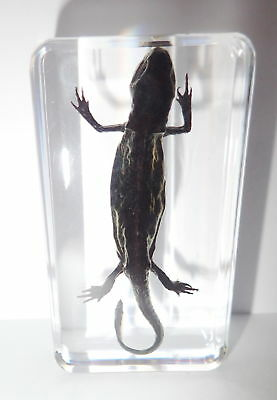 Salamander Specimen Oriental Fire Belly Newt in Clear Block Education Aid
