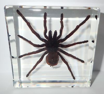 Large TARANTULA Spider Golden Earth Tiger Specimen in 95 mm Square Paperweight