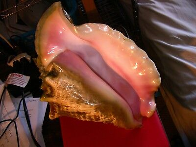 Large Pink Queen Conch Shell, originally used as a plant pot and restored