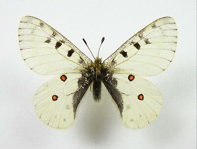 +++ Schmetterling: Parnassius Phoebus Montanulus Male A1- Usa