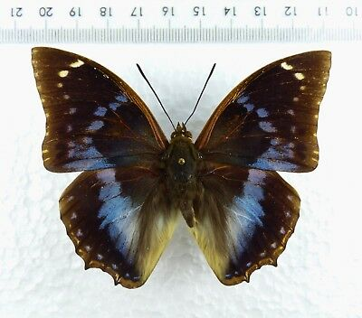 +++ Schmetterling: Characes Xiphares Brevicaudatus Male Malawi Rare !