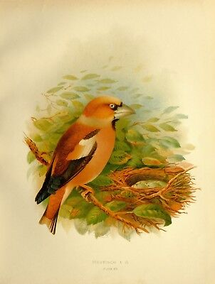1907 Antique Bird Print ~ Hawfinch