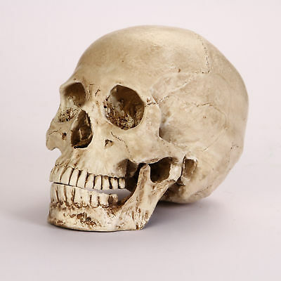 Education Resin Replica1:1 Real Human Anatomy Skull Skeleton Medical Party Model
