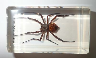 Ghost Spider in 71x41x22 mm Amber Block Named Education Insect Specimen