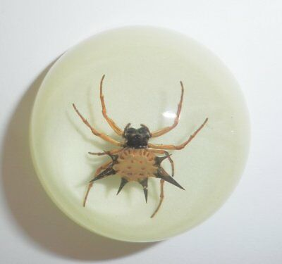 Insect Dome Magnet Spiny Spider Specimen Round 38 mm Glow in the Dark