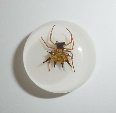 Insect Cabochon Spiny Spider Specimen Round 25 mm on White 1 piece Lot