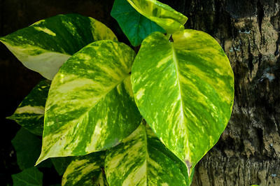 Scindapsus Aureum seeds Plant Pot Home Gardens Golden Pothos Easy Grow Flowers