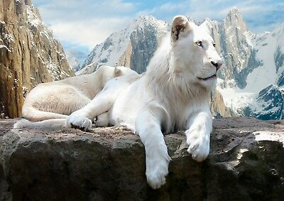 White Lion Animal Nature Photo Poster Print ONLY Wall Art A4