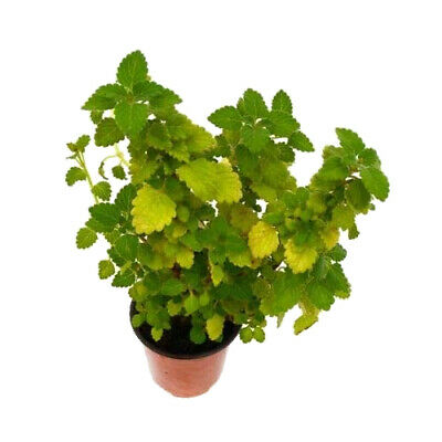 Incienso Planta Natural 10cm Plectranthus Madagascariensis en Maceta