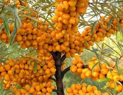 """SEEDS – Dwarf Sea Buckthorn """"Amber Dawn"""" Compact Hardy Shrub For Colder Climate!"""