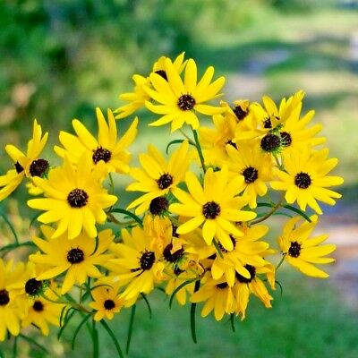 100+SWAMP SUNFLOWER Seeds Clumping Perennial Native Wildflower Salt Tolerant