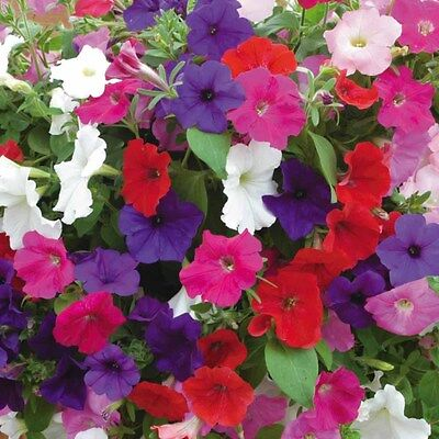 Petunia Mix 250 Seeds Large Outstanding Dazzling Colorful Mix of Blooms