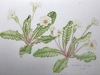 Fine Art Original Water Colour Painting Polyanthus Plant Flowers Signed Framed