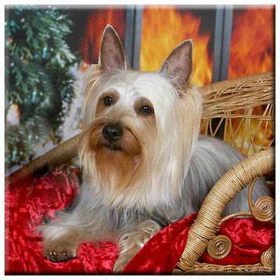 "Silky Terrier 4"" Decorative, Cork Backed, Ceramic Tile"