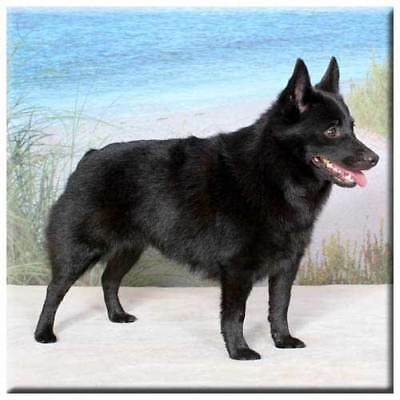 "Schipperke 4"" Decorative, Cork Backed, Ceramic Tile"