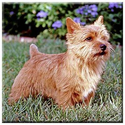 "Norwich Terrier 4"" Decorative, Cork Backed, Ceramic Tile"