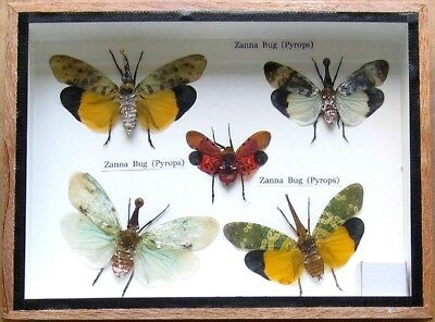 Real Beetle Rare Insect Display Taxidermy Zanna Bug in Wood Box Collectible Gift
