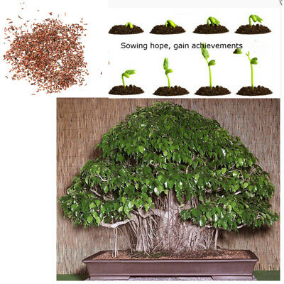 150PCS Weeping Fig (Ficus Benjaminia) - Bonsai Plant Tree Seeds