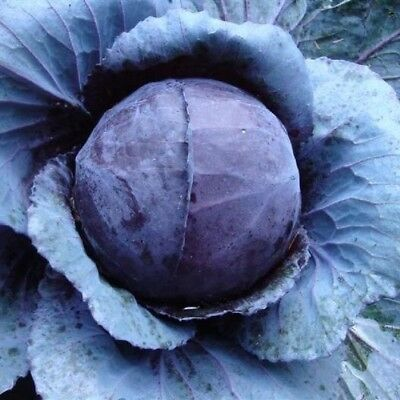Cabbage 'Red Acre' 100 Seeds