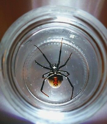 """XXL Black Widow Spider Real Venomous Spider! """"The Mother of All Black Widows"""""""